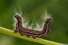 Datana integerrima Order; Lepidoptera Family; Notodontidae