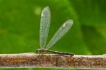 Order Neuroptera; Family Myrmeleontidae