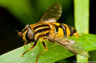 Order Diptera; Family Syrphidae